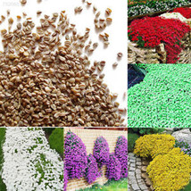 2170 AE61 Ground Cover Flower Garden Plant Flower Seeds Beautiful 1bag 1... - $1.99
