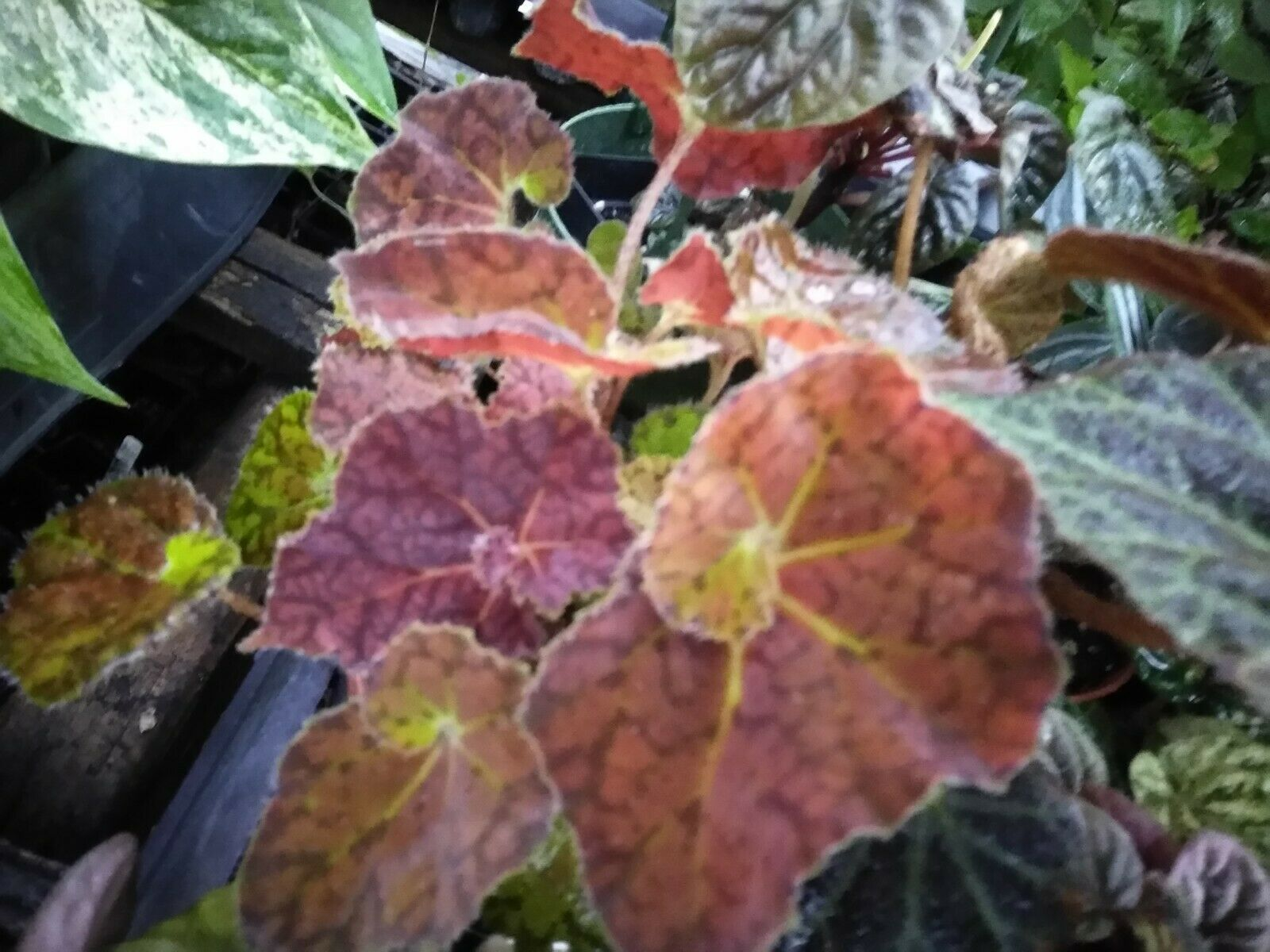 "Rex Begonia - Autumn Embers - Live Plant - 4"" Size Pot - 1 Plant"