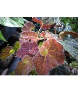 "Rex Begonia - Autumn Embers - Live Plant - 4"" Size Pot - 1 Plant - $38.99"