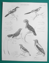 BIRDS Ornithology Vanga Srike Fiscal Tanager Finch - c1835 Fine Quality ... - $16.20