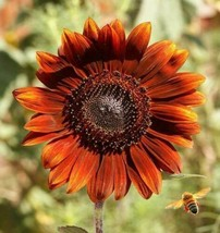 SHIP FROM US 4,500 Velvet Queen Sunflower Seeds, ZG09 - $55.16