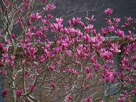 "Ann Magnolia 2 1/2"" pot shrub/tree image 4"