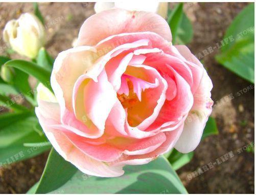 True Tulip Bulbs,Tulip Flower,(Not tulip seeds),Flower bulbs symbolizes COLOR 1