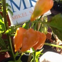 Habanero Yellow Dwarfs,10 semillas,seeds,Capsicum chinense ,cosecha prop... - $2.19