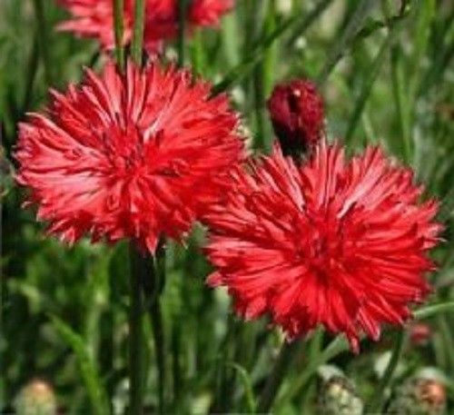 SHIPPED From US,PREMIUM SEED:80 Particles of Tall Red Flower, Hand-Packaged