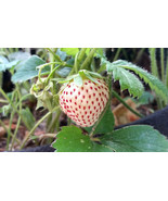 ORGANIC STRAWBERRY/PINEBERRY PLANTS  -SMALL ROOT - 12 COUNT  GROWN IN THE U.S.A. - $25.00