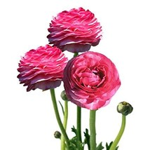 Persian Buttercup 10 Bulbs- 6/7 cm - Ranunculus Tecolote Mix - Hardy - $32.99
