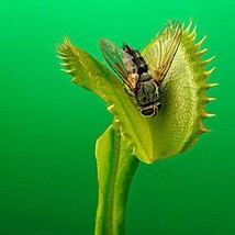 100 Pcs Potted Insectivorous Plant Seeds Dionaea Muscipula Giant Clip Fl... - $2.18