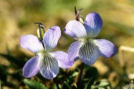 100 Prairie Violet Purple Viola Coastal Larkspur Pedatifida Palmata Flower Seeds - $14.00