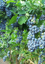 SHIPPED FROM US 100 Northern Highbush Blueberry Deciduous Shrub Fruit Se... - $10.72