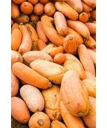 Squash Winter Pink Banana Jumbo Non GMO Heirloom Vegetable Seeds Sow No ... - $3.95+