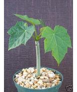 """SHIP From US, 6"""" pot Jatropha curcas, succulent plant cacti ECC - $49.88"""