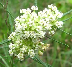 SHIPPED FROM US 50 Whorled Milkweed Asclepias verticillata Seeds, ZG09 - $15.96