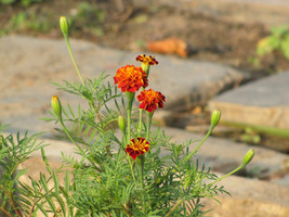 french Marigold- Red Tagetes- 50 Seeds - $10.88