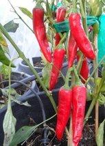 10+ Seeds Of Sucette de Provence Pepper Capsicum Annuum - $19.78