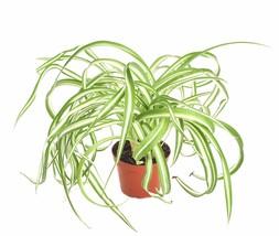 "Shop Succulents Live 4"" Indoor House Plant Chlorophytum Bonnie Spider - $31.91"