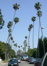 Mexican Fan Palm Washingtonia robusta 10 Seeds GTL09 - $28.17