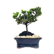 Miniature Japanese Juniper Bonsai Tree - Ceramic Bonsai Pot - $41.29