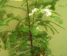 1 Bald Cypress Tree (Taxodium) 16+inch, Fast Growing Conifer, Landscape ... - $18.95