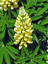 LUPINE, GOLDEN YELLOW, 20+ SEEDS, ORGANIC, BEAUTIFUL GOLDEN FLOWERS, SEEDS - $4.00