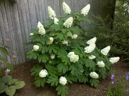 Oakleaf Hydrangea qt. pot old fashion oakleaf image 1