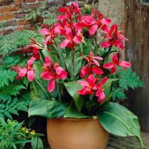 Canna Perkeo (2 Bulbs/Rhizome/2-3 eyes) Thrives in heat & humidity - $26.22