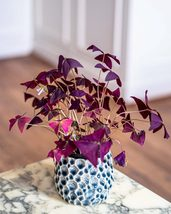 10 Bulbs Oxalis Triangularis Purple Shamrock Plant, False Shamrock, Luck... - $8.49