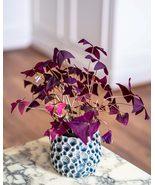 10 Bulbs Oxalis Triangularis Purple Shamrock Plant, False Shamrock, Luck... - $8.49