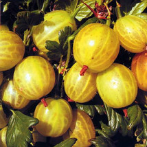 Gooseberry Plants (Ribes grossularia) - Golden - 20 seeds - $0.99