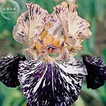 20 Pcs Iris Orchid Tectorum Seed, Home Decorative Heirloom Flower Seeds T12 LR - $6.99