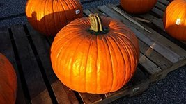 25 Seeds Of Corvette Pmr Hybrid Pumpkin - $24.26