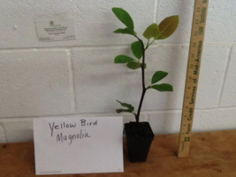 Yellow Bird Magnolia image 3