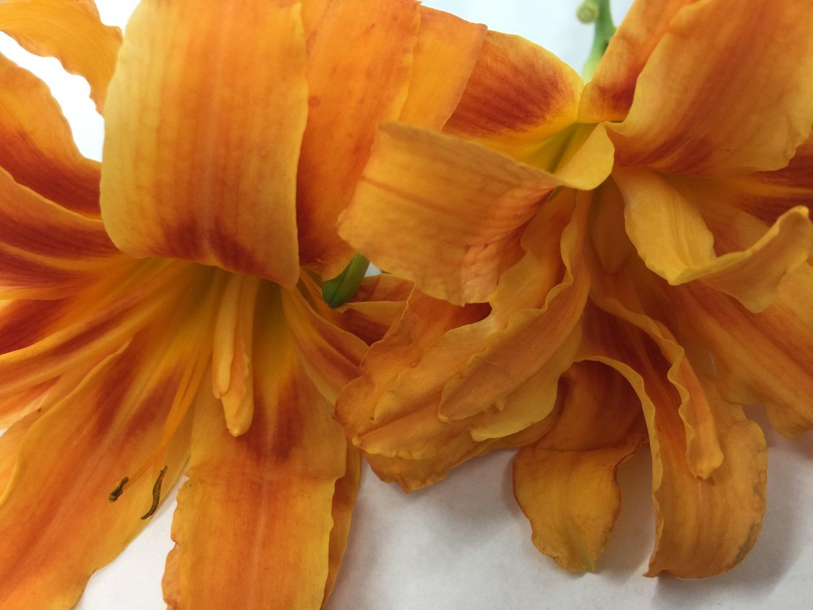 DOUBLE ORANGE BLOOM Daylily 10 fans/root systems