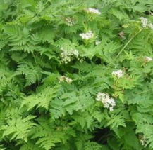 100 Pcs Seeds Chervil Anthriscus Cerefolium Flower -  RK - $6.00