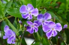 """Duranta erecta 'Purple Lace', purple duranta plant 4"""" pot - $19.98"""