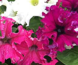 150 Pelleted Seeds Petunia Seeds Frillytunia Mix Flower Seeds - Outdoor Living - $55.99