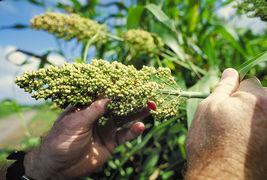 75 Seeds -  White Popping Sorghum Bicolor Snack Vegetable Flour Grain #S... - $17.99