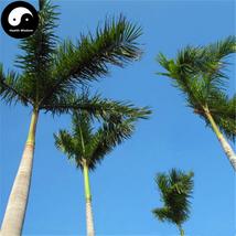 Buy Roystonea Regia Tree Seeds 40pcs Plant Chinese Evergreen Tree Da Wan... - $9.99