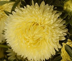 Aster Gremlin Double Yellow 50 Seeds - $6.93