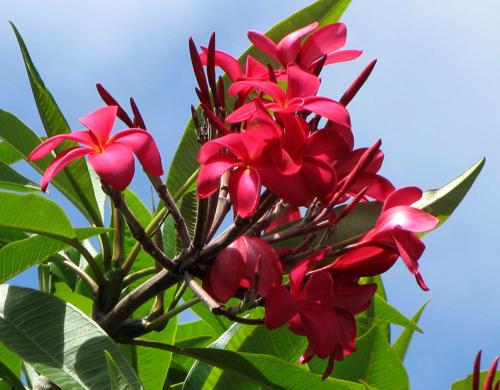 Hawaiian Red Plumeria Plant Cutting (Frangipani) PEST-FREE Shipped from HAWAII