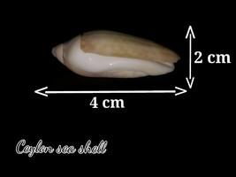 Memorable ceylon beach sea shell 4cm*2cm size for your collection - $0.01