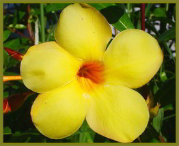 BROWN BUD Allamanda Hendersonii Vine Plant Tropical Sunny Yellow Big Bel... - $46.99
