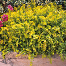 """2"""" pot sedum ANGELINA compact yellow easy drought tolerant 1 Live Potted Plant - $18.99"""