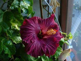 40 Rare Dark Purple Hibiscus Seeds Perennial Flower Flowers Hardy Seed -... - $25.95