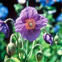 SHIP From US Poppy Himalayan Violet Seeds(Meconopsis Betonicifolia)20+Seeds UTS2 - $24.99