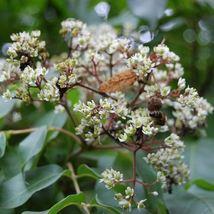 Bee bee Tree Seeds (Tetradium daniellii) 30  Seeds - $12.99