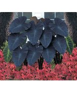 2 Plants - Black Magic Elephant Ear, Colocasia / Taro - Large 1 Gallon Size - $60.00