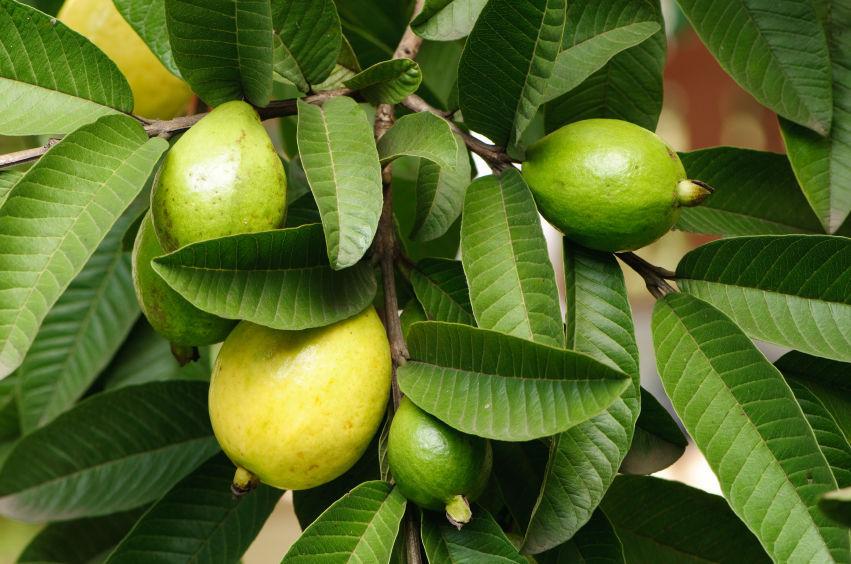 100%  Jamaican Guava Leaves ( Air Dried, Organic & Spray free) 50 leaves