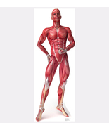 HUMAN BODY ANATOMY MUSCLE SYSTEM CARDBOARD STANDUP STANDEE CUTOUT NEW 1838 - $42.95