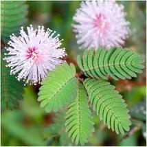 35 Seeds Mimosa Pudica Sensitive Plant Foliage Plant - $12.99